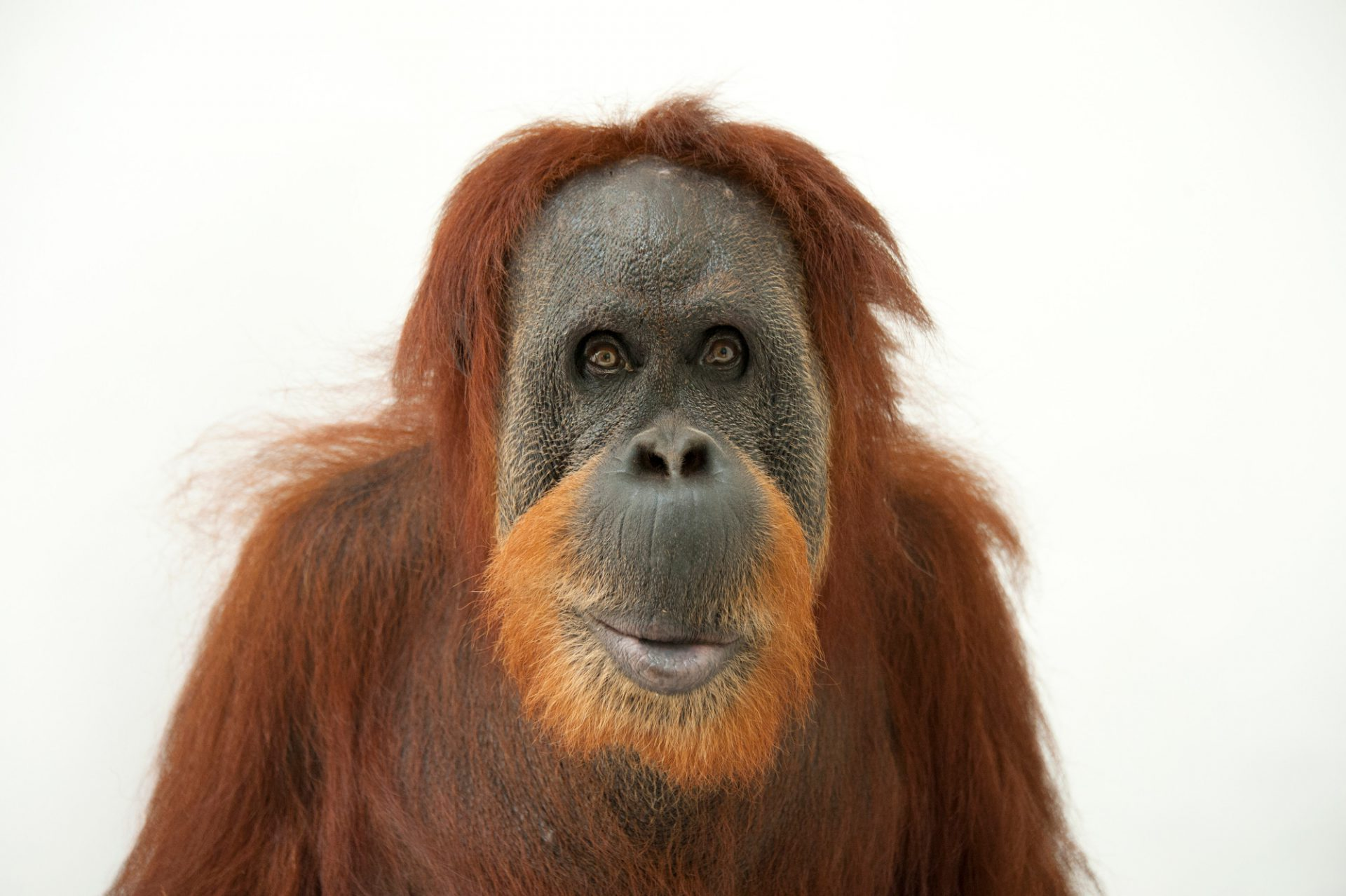 A critically endangered Sumatran orangutan (Pongo abelii) named Susie, at the Gladys Porter Zoo.