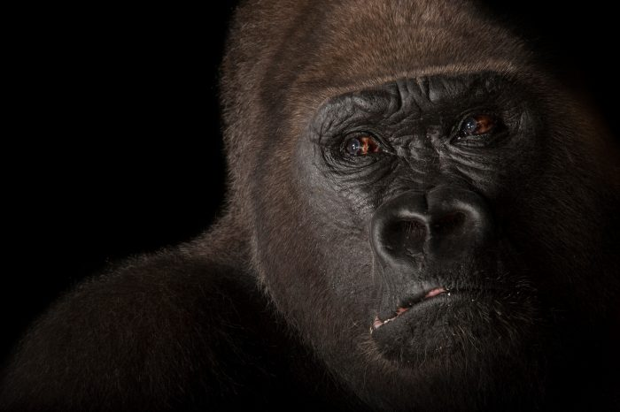 A male Western lowland gorilla (Gorilla gorilla ssp. gorilla) named Lamydoc, at the Gladys Porter Zoo. Lamydoc was born in 1963. Listed as critically endangered and federally endangered.