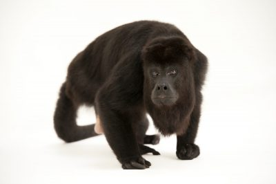 An endangered (IUCN) and federally threatened Yucatan black howler (Alouatta pigra), at the Gladys Porter Zoo. This is the only Yucatan black howler in captivity.