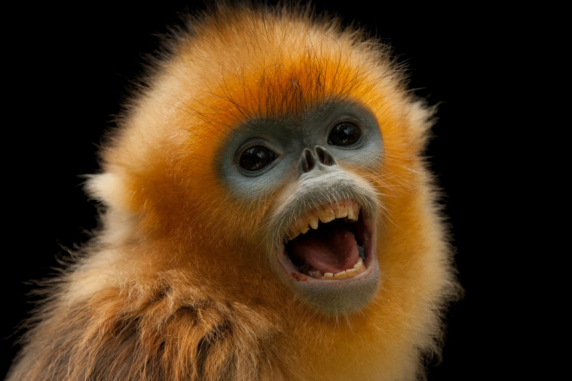 Picture of an endangered (IUCN) and federally endangered golden snub-nosed monkey (Rhinopithecus roxellana) at Ocean Park.