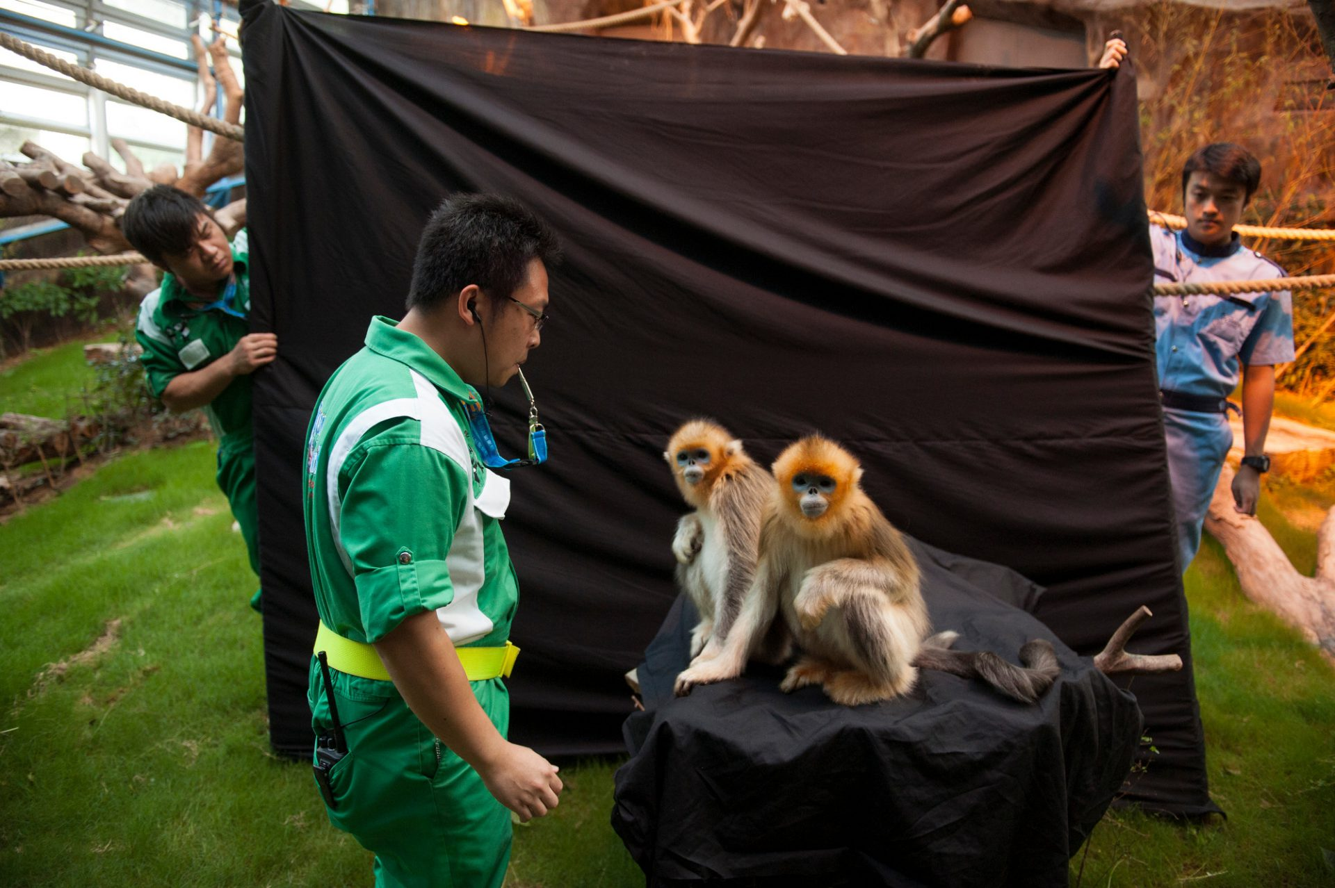 Photo: Golden snub-nosed monkeys prepare to have their picture taken at Ocean Park.
