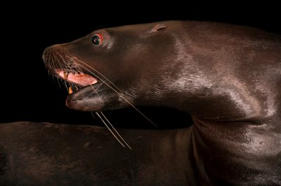 An endangered (IUCN) and federally endangered steller sea lion (Eumetopias jubatus) at Ocean Park in Hong Kong.