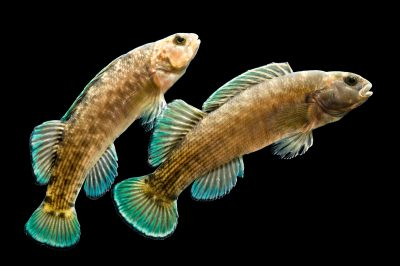 Vulnerable (IUCN) and federally endangered boulder darters (Etheostoma wapiti) at Conservation Fisheries, a native stream fish breeding center.