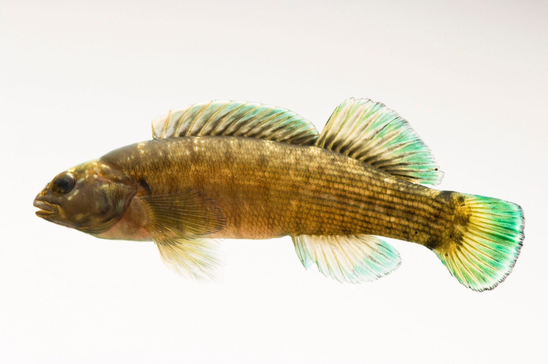 A vulnerable (IUCN) and federally endangered Boulder darter (Etheostoma wapiti) at Conservation Fisheries.
