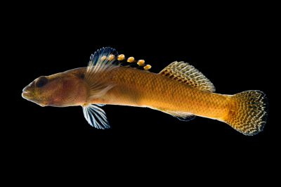 A vulnerable (IUCN) citico darter (Etheostoma sitikuense) at Conservation Fisheries, a native stream fish breeding center.