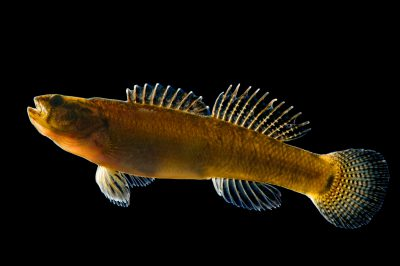 Relict darter (Etheostoma chienense) a federally threatened species at Conservation Fisheries, a native stream fish breeding center.