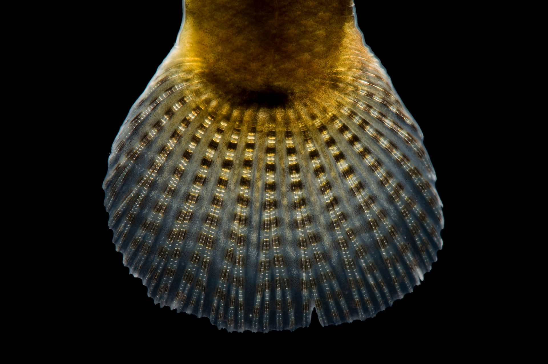 The fin of a relict darter (Etheostoma chienense) a federally threatened species at Conservation Fisheries, a native stream fish breeding center.