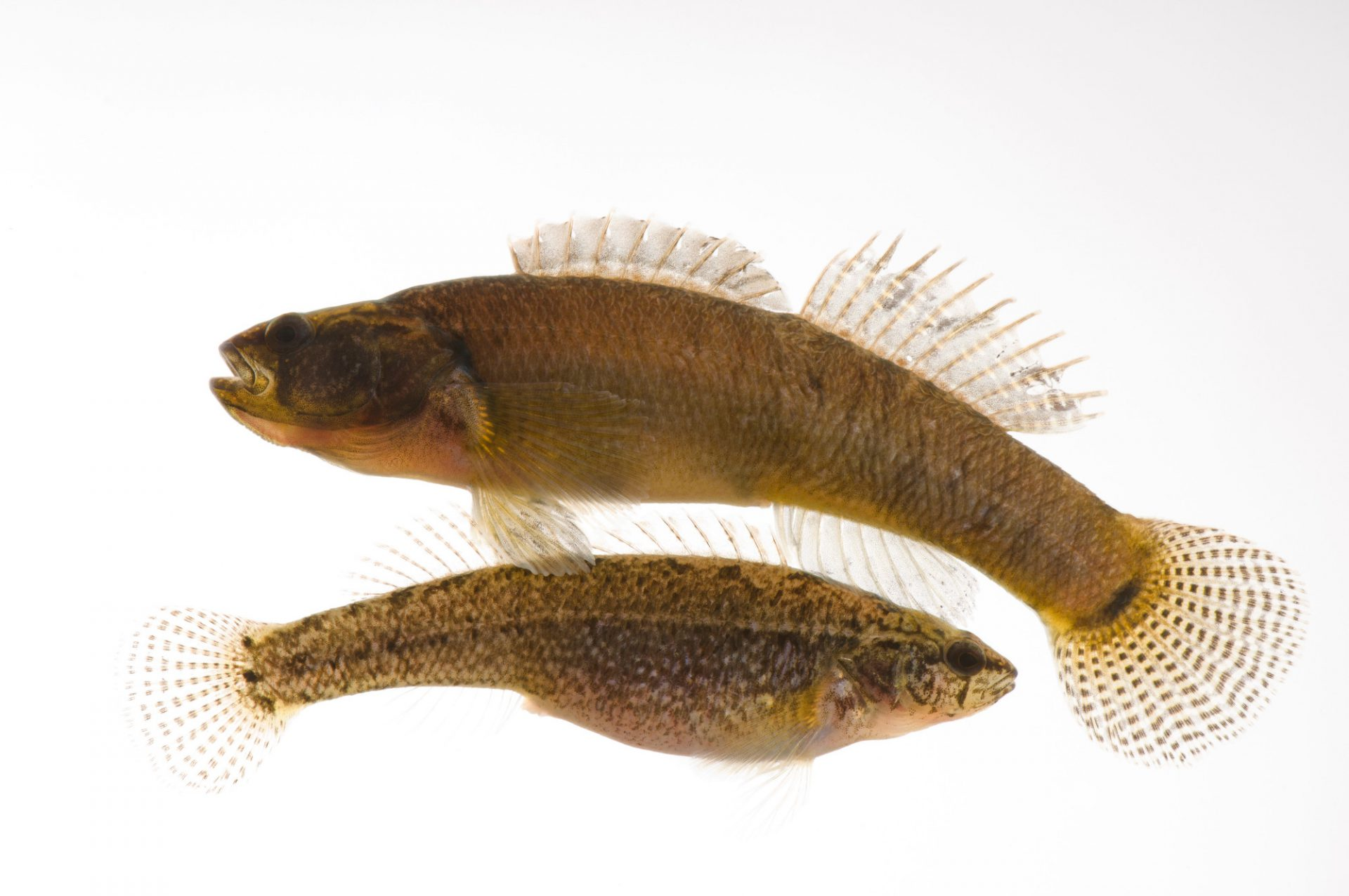 Relict darters (Etheostoma chienense) a federally threatened species at Conservation Fisheries, a native stream fish breeding center.