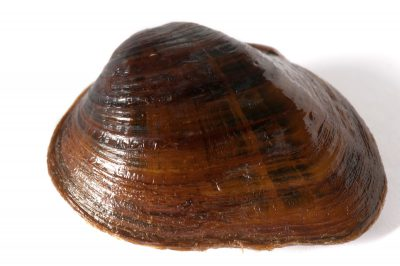 A shiny pigtoe, Fusconaia cor, a critically endangered (IUCN) and federally endangered freshwater mussel.