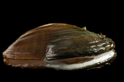A critically endangered (IUCN) and federally endangered oyster mussel (Epioblasma capsaeformis) displaying its blue-white mantle. These mussels and many others are in danger of extinction because of habitat loss due to impoundments and pollution. Pollution from coal mining in the Clinch River watershed is of special concern. The fine sedimentation that comes downstream from the mines is thought to impede mussel survival.