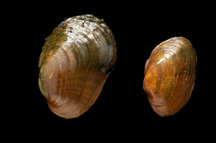 Critically endangered (IUCN) and federally endangered oyster mussels (Epioblasma capsaeformis). These mussels and many others are in danger of extinction because of habitat loss due to impoundments and pollution. Pollution from coal mining in the Clinch River watershed is of special concern. The fine sedimentation that comes downstream from the mines is thought to impede mussel survival.