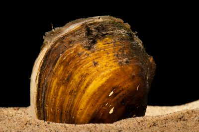An endangered (IUCN) and federally endangered Higgins eye pearly mussel (Lampsilis higginsii) at the Genoa National Fish Hatchery, Genoa, Wisconsin.