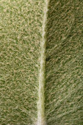 Photo: The federally endangered hairy rattleweed (Baptisia arachnifera) at the Atlanta Botanical Garden.