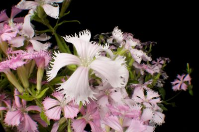 Photo: Fringed campion flowers (Silene polypetala), a federally endangered plant that's native to rich hardwood forests of Georgia and Florida.