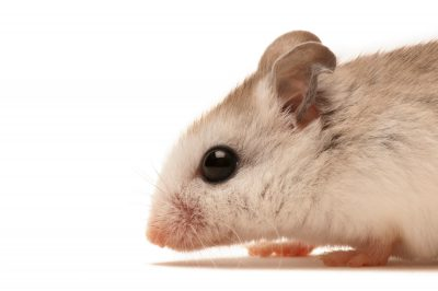 A St. Andrew beach mouse (Peromyscus polionotus peninsularis) a federally endangered rodent, at the USFWS office in Panama City, FL. This and several other beach mice subspecies are imperiled due to beach development.