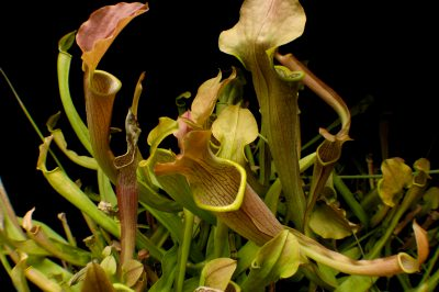 Photo: An Alabama canebrake pitcher plant (Sarracenia rubra ssp. alabamensis) at the Atlanta Botanical Garden, Atlanta, Georgia.