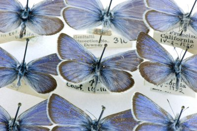 The extinct Xerces blue butterfly (Glaucopsyche xerces). This photo was taken at the Maguire Center for Lepidoptera and Biodiversity, Gainesville, FL. This is located on the campus of the University of Florida and is part of the Florida Museum of Natural History.