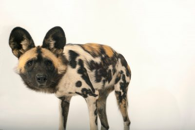 An endangered (IUCN) and federally endangered African wild dog (Lycaon pictus) at the Omaha Zoo.