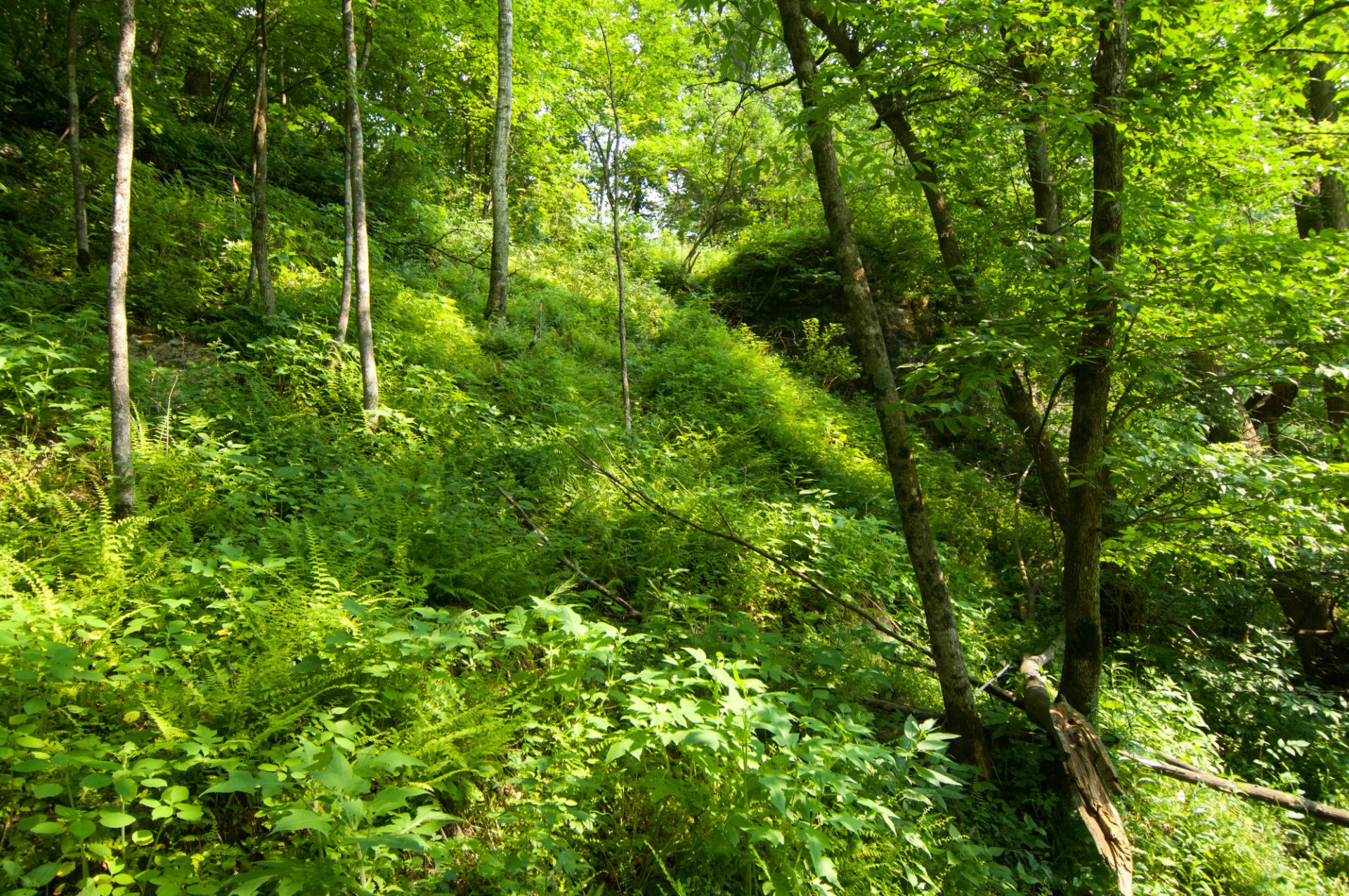 Photo: The habitat of the federally endangered Iowa Pleistocene snail on an Iowa river bluff hillside.