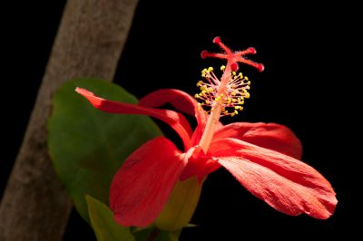 Photo: Clay's hibiscus, Hibiscus clayi, a federally endangered Hawaiian plant.