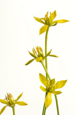 Photo: Harper's beauty, Harperocallis flava, a federally listed plant from Florida.