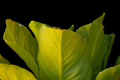 Photo: A federally endnagered Alula, also known as olulu, Brighamia insignis.