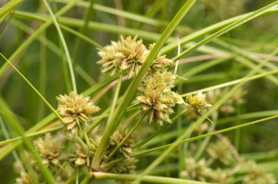 Photo: A federally endangered pu`uka`a plant, Cyperus trachysanthos.