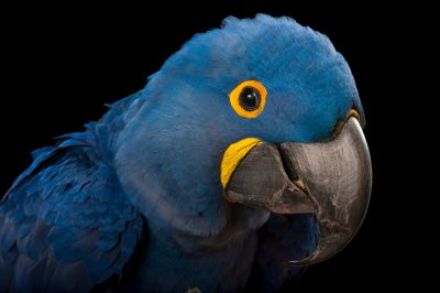 A vulnerable hyacinth macaw (Anodorhynchus hyacinthinus) at the Fort Worth Zoo.