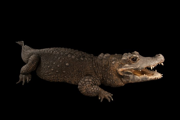 A West African dwarf crocodile (Osteolaemus tetraspis tetraspis) at the Lincoln Children's Zoo. This species is federally endangered and listed as vulnerable on IUCN.