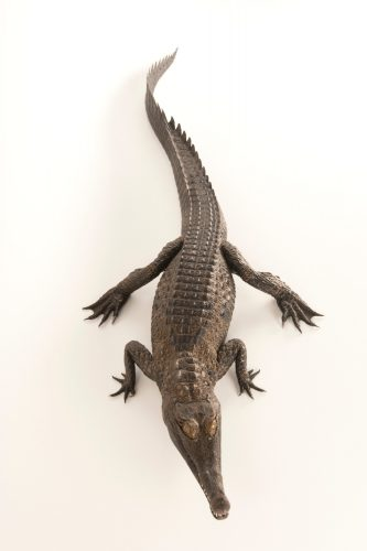 A federally endangered West African slender-snouted crocodile (Mecistops cataphractus) from the private collection of Curt Harbsmeier.
