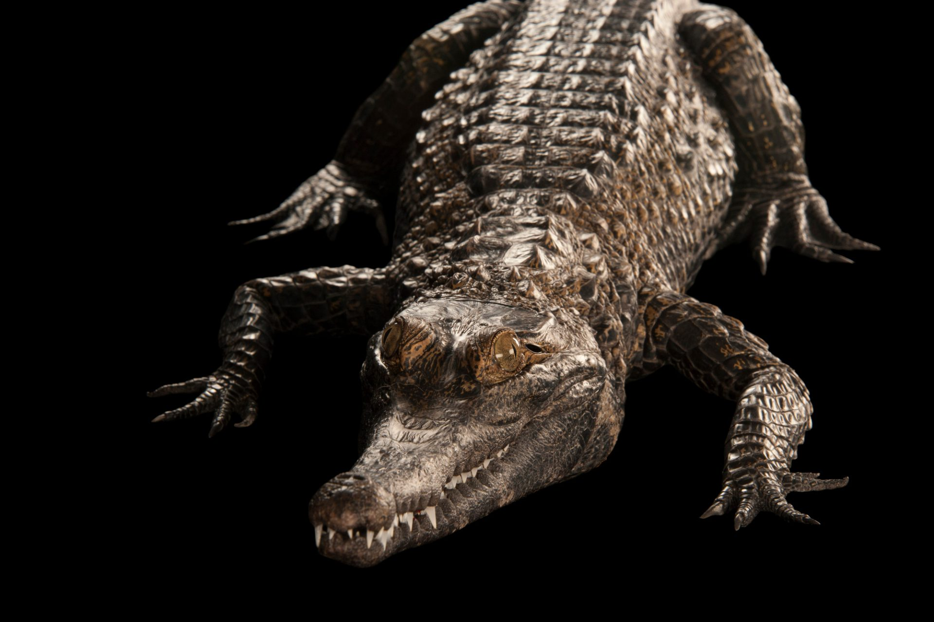 A federally endangered African slender snouted crocodile (Mecistops cataphractus).