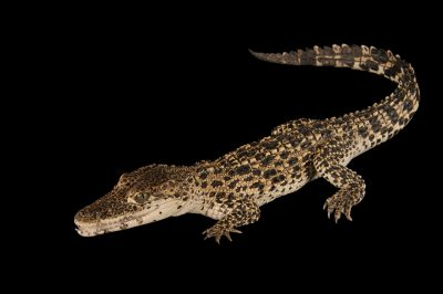 A critically endangered (IUCN) and federally endangered Cuban crocodile (Crocodylus rhombifer).