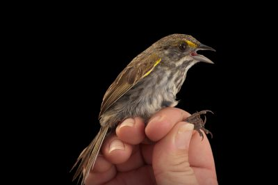A federally endangered Cape Sable seaside sparrow, Ammodramus maritimus mirabilis. This bird is down to about 2,000 individuals and declining, with nearly all found within Everglades National Park in south Florida.