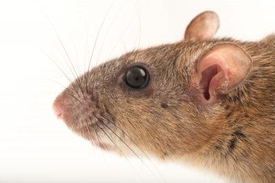 A federally-endangered Key Largo wood rat, Neotoma floridana smalli, Crocodile Lake National Wildlife Refuge, Key Largo, Florida. There are approximately 250 or fewer of these animals left.