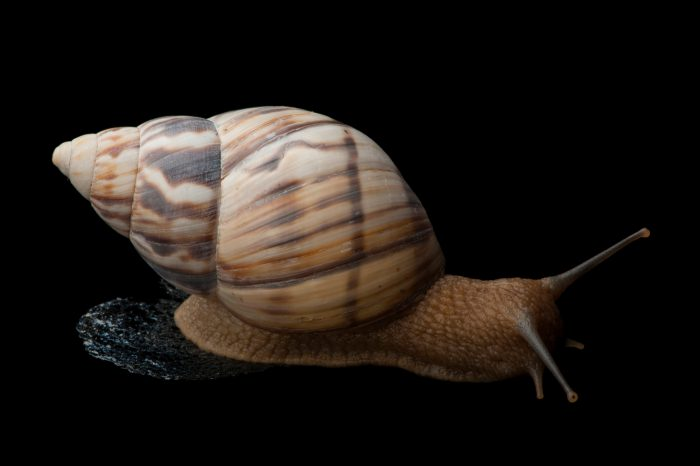 A Stock Island tree snail (Orthalicus reses reses), a federally-threatened species.