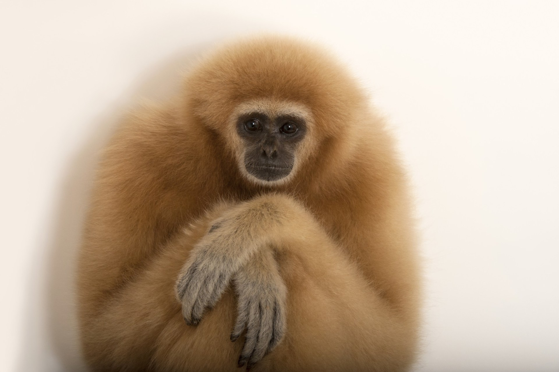 An endangered lar gibbon (Hylobates lar) at the Gladys Porter Zoo in Brownsville, Texas.