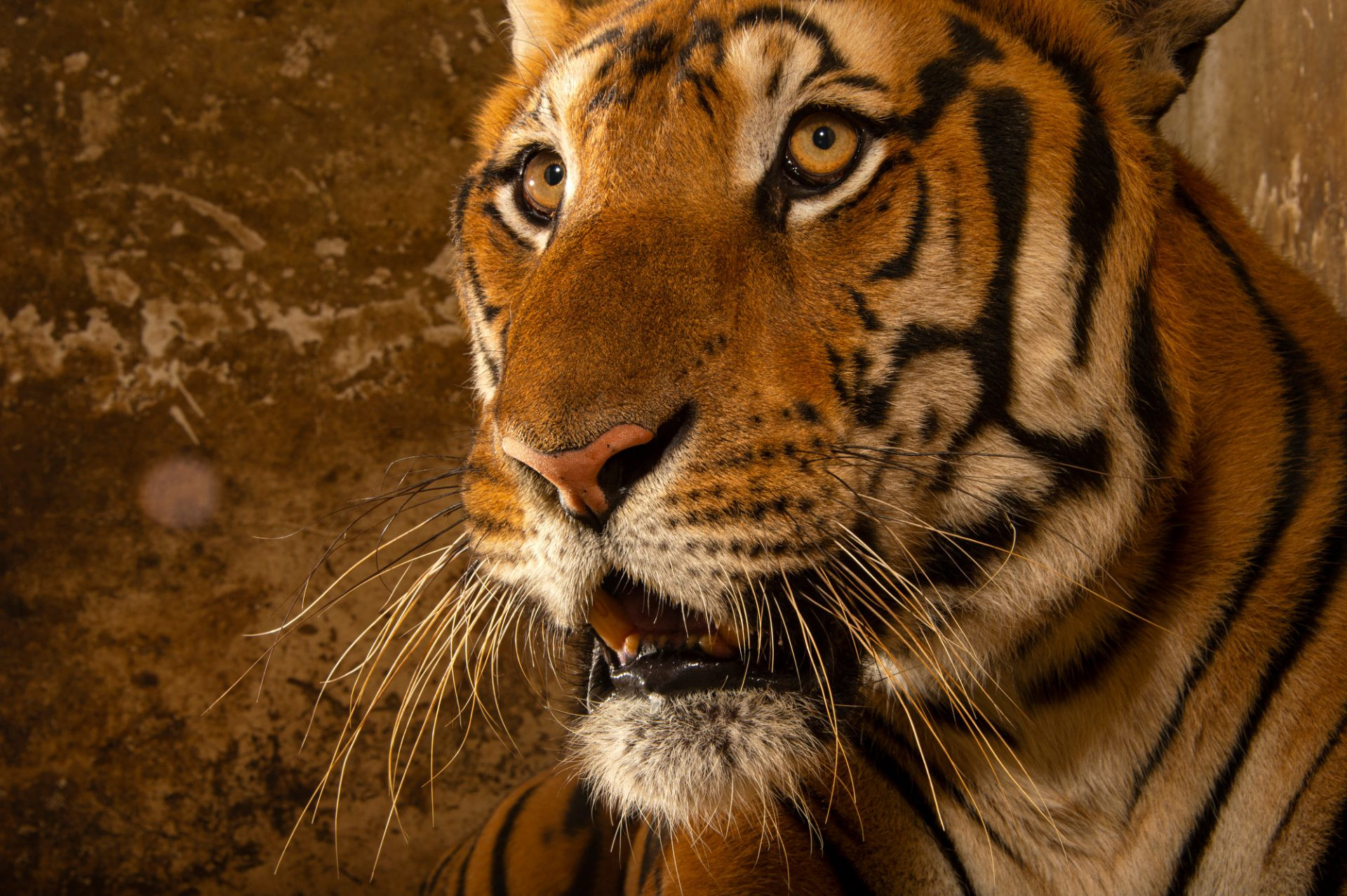 Photo: A federally endangered South China tiger (Panther tigris amoyensis) at Suzhou Zoo. This species is nearly extinct in the wild, and numbers only 100 or so in captivity, all of which come from six founders many years ago.