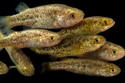 Picture of federally endangered and critically endangered (IUCN) Pahrump poolfish (Empetrichthys latos) at the Desert National Wildlife Refuge Visitor's Center.