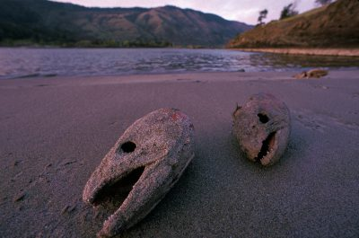Photo: Salmon heads on the shore of the Columbia River.