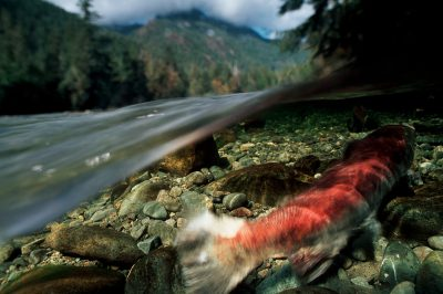 Photo: A female sockeye salmon guards her nest in the Kennedy River on Vancouver Island, BC.