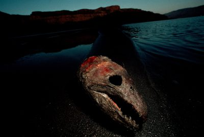 Photo: Salmon heads washed up on the banks of the Columbia river at a Native American fish-cleaning site near Celilo, OR.