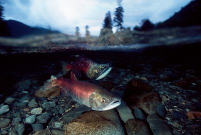 Photo: Male and female sockeye salmon near a nest in the Kennedy River on Vancouver Island, BC.