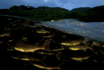 Photo: Pink salmon migrate upstream toward a spawning ground on Adak Island, Alaska.