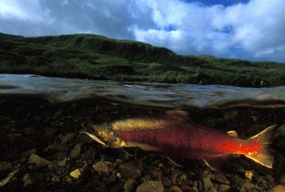 Photo: A sockeye salmon on Adak Island.