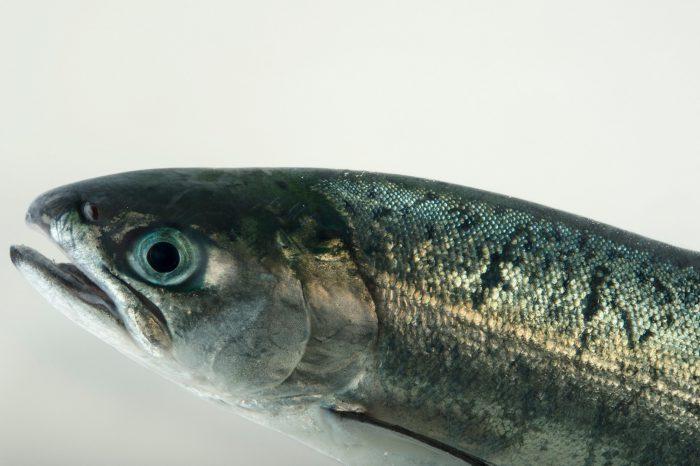 Photo: Coho salmon (Oncorhynchus kisutch) at the Alaska SeaLife Center in Seward, AK.