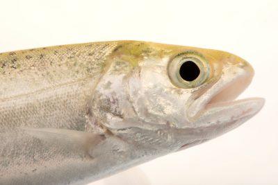 Photo: Chinook Salmon (Oncorhynchus tshawytscha) at the University of California, Davis.