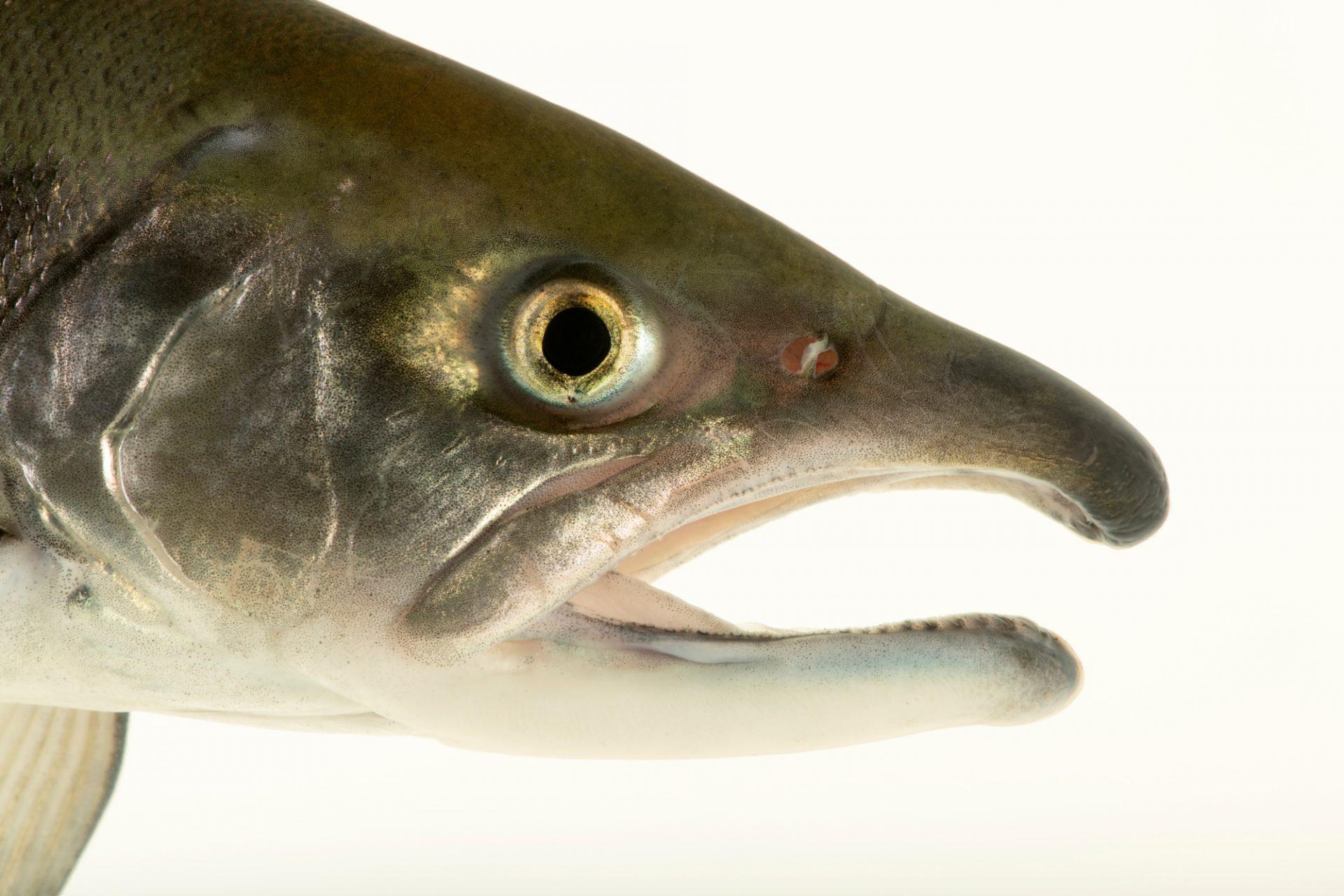 Photo: Kokanee salmon (Oncorhynchus nerka) photographed at Downtown Aquarium in Denver, Colorado.