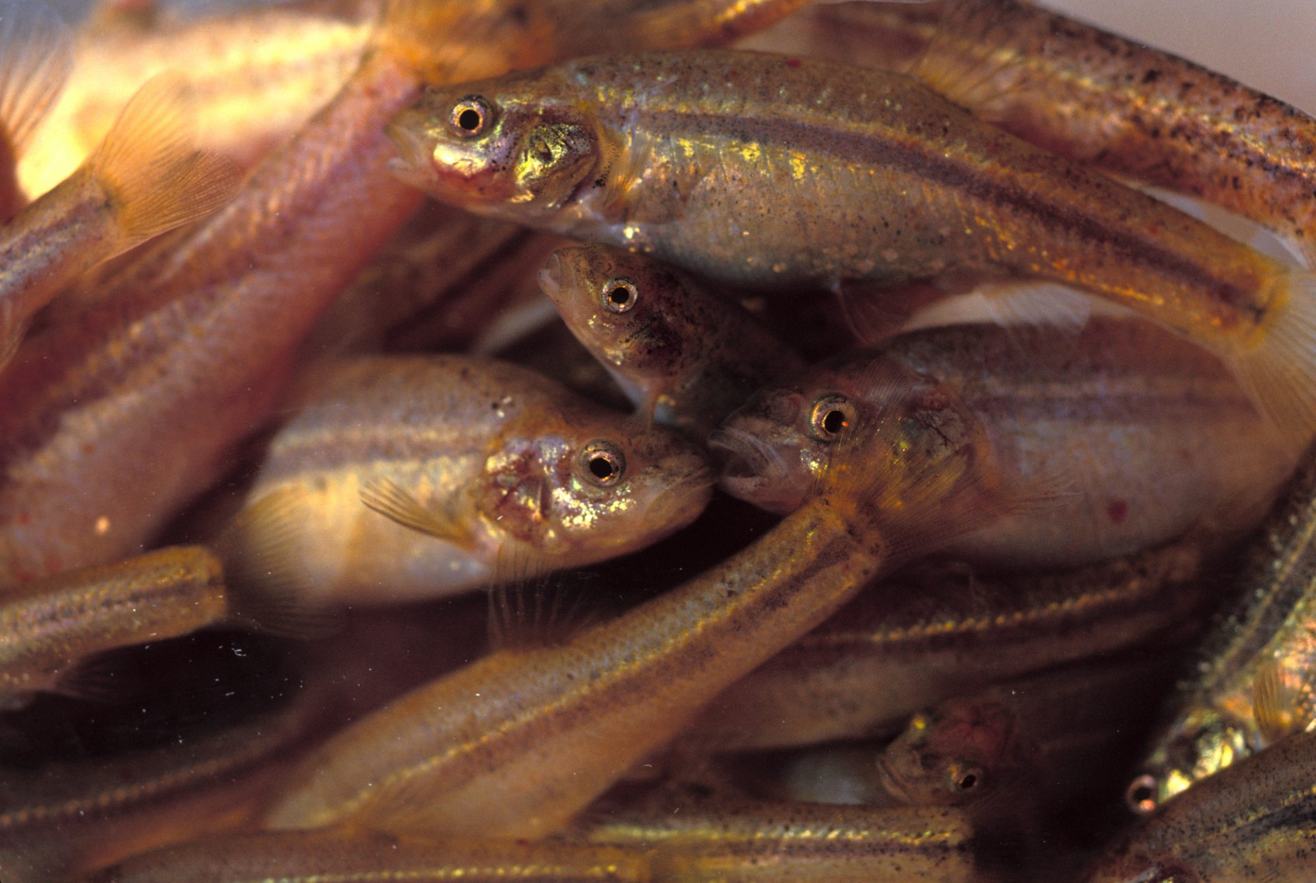 Photo: The Ash Meadows Speckled Dace is one of many endangered species at the Ash Meadows NWR in Nevada.