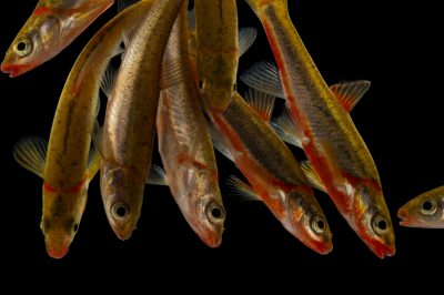 A school of vulnerable Blackside dace (Chrosomus cumberlandensis), a rare fish from the southeasern U.S. at Conservation Fisheries.