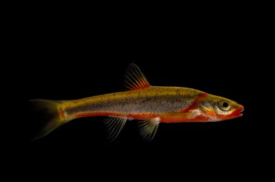 A vulnerable blackside dace (Chrosomus cumberlandensis) at Conservation Fisheries in Knoxville, Tennessee.